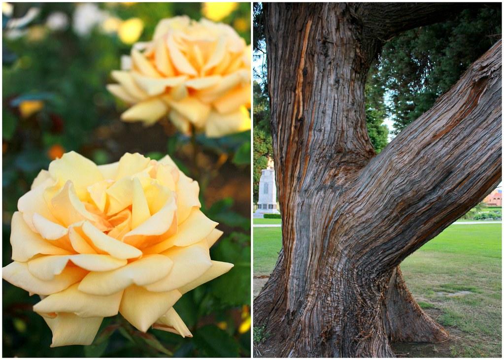 rotorua-government-garden-new-zealand-old-tree