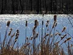 last season's cattails