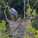 GB Heron with Chicks
