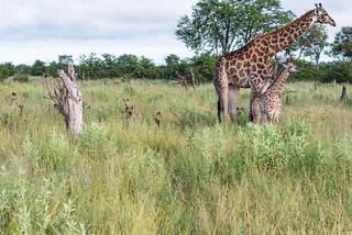 Jagende Wildhunde greifen eine Giraffe an