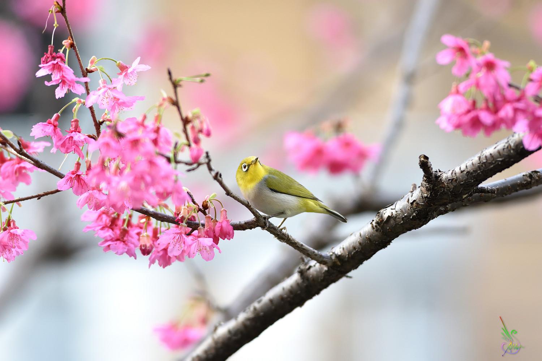 Sakura_White-eye_8064