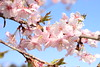 Photo:Kawazu zakura sakura cherry blossom Japan 河津桜  桜 サクラ 日本 (6) By zaimoku_woodpile