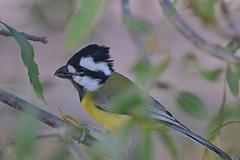 Eastern Shrike -tit