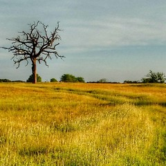 #texas #landscape #deadtree #ancient #farm #farmlife