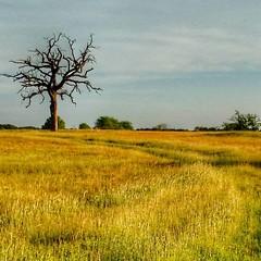 #texas #landscape #deadtree #ancient #farm #farmlife