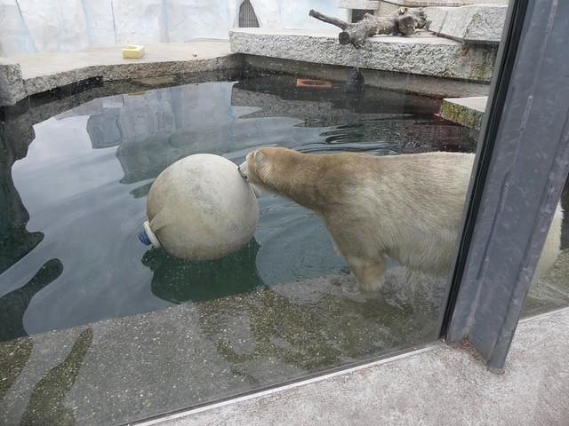 Eisbärin Nika, Zoo Karlsruhe