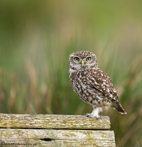 Little owl April 30th 2017 (1 of 1)