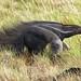 Giant Anteater - Karanambu (Peter Stott)