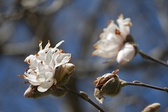日, 2017-04-02 12:36 - Brooklyn Botanical Garden