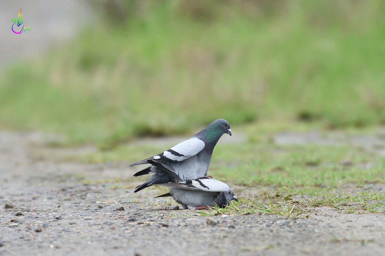 Pigeon_1790