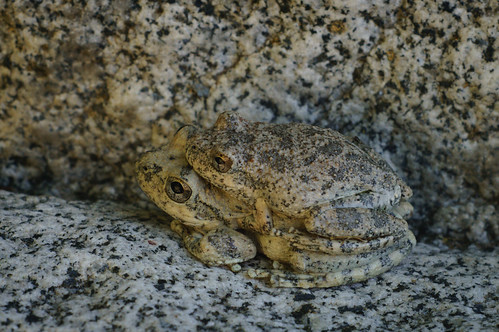 California Treefrogs in Amplexus