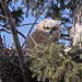 Great Horned Owlet...#13