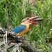Stork Billed Kingfisher tossing fish by Ken Goh thanks for 2 Million views