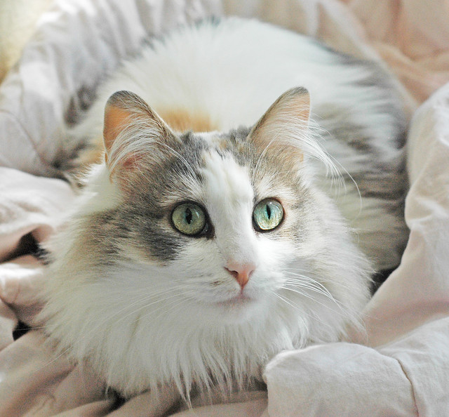 Ragamuffin Cat Pictures And Information Cat Breeds Com