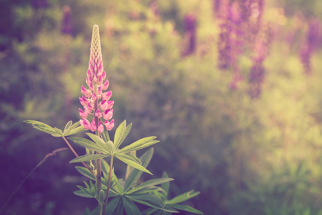 Pink lupine