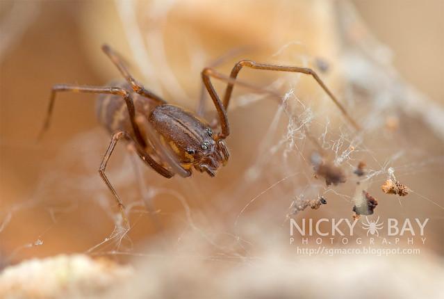 Spitting Spider (Scytodidae) - DSC_6722