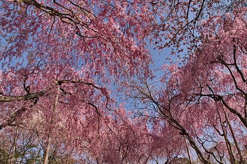 【写真】桜 : 龍安寺
