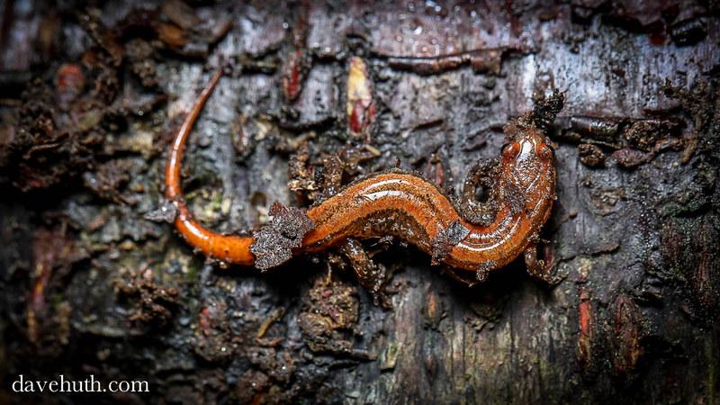 Seepage Salamander (Desmognathus aeneus)