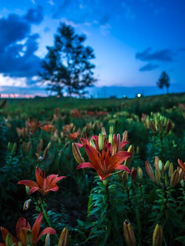 flowers sunset summer japan hokkaido lily bluesky 北海道 日本 花 夏 biei 夕日 美瑛 青い空 12mmf20 olympusomdem5 新栄ノ丘展望公園 shineinookaobservationpark