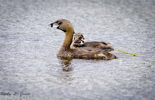 Pied Billed Grebe by Ricky L. Jones Photography