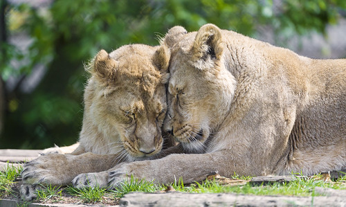 Two lionesses loving each other by Tambako the Jaguar