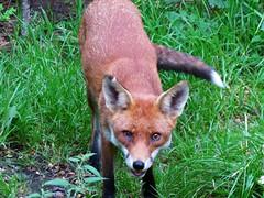 Fox - Vixen