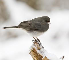 wren(0.0), cinclidae(0.0), branch(0.0), house sparrow(0.0), brambling(0.0), blackbird(0.0), animal(1.0), sparrow(1.0), winter(1.0), nature(1.0), fauna(1.0), finch(1.0), junco(1.0), close-up(1.0), emberizidae(1.0), beak(1.0), bird(1.0), wildlife(1.0),