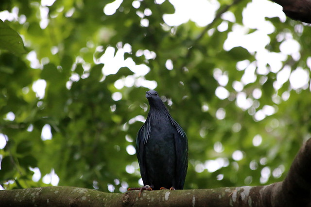 NICOBAR PIGEON | Flickr - Photo Sharing!