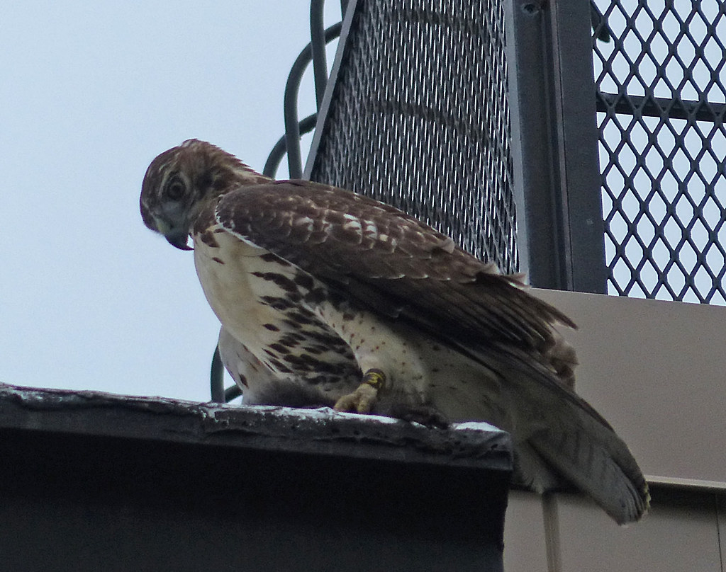 Tagged hawk with squirrel