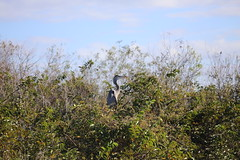 GREAT BLUE HERON #2