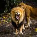 The Lion's Yawn by RhonanMS