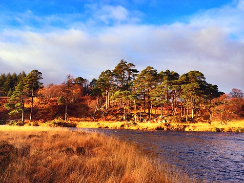 Scots Pines on River Inver