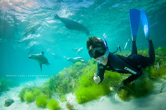 Swimming with wild sealions, Hopkins Island - South Australia