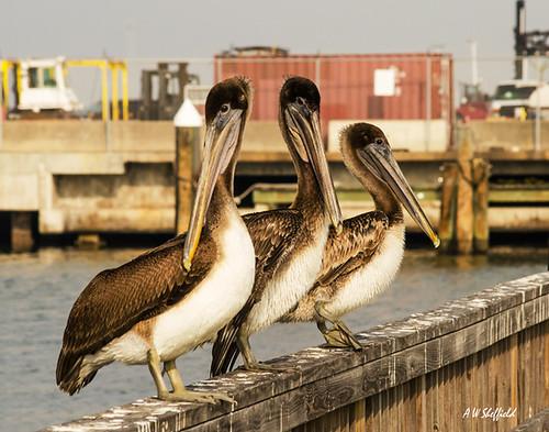 seagulls galveston beach pelicans birds fog opera operahouse galvestontexas foggybeach galvestonbeach dellanera galveston2013 dellanerarvpark galveston1894grandoperahouse
