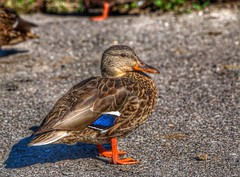 sitting duck.