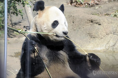 Panda enjoying a tasty bamboo 恩賜上野動物園 Ueno Zoo Tokyo