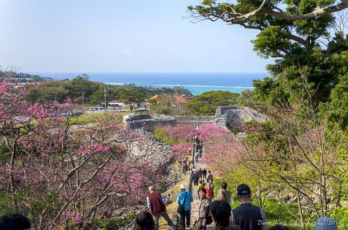 今帰仁グスク桜まつり | Okinawa #1