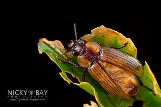 Ground Beetle (Orthogonius sp.) - DSC_4515