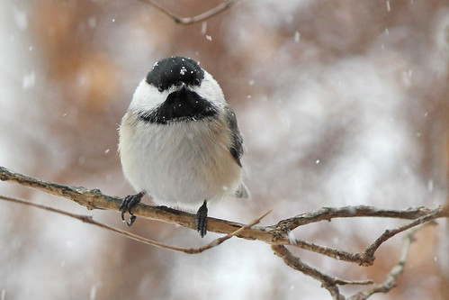 Chicadee in the snow storm