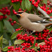 Waxwing by Trevsbirds