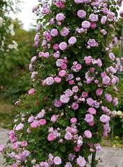 Rose, Forstmaister Heim, バラ, フォルストマイスター ハイム,