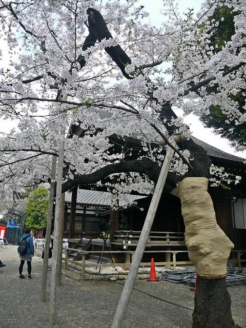 Sakura 2104 Yasukuni Shrine