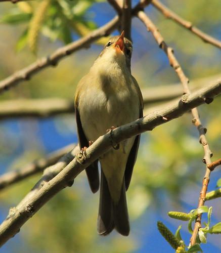 Willow Warbler 26884