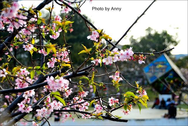 麗池櫻花35