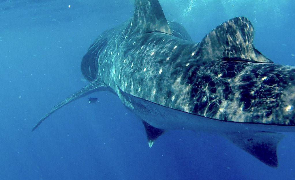 Isla Mujeres Whale shark tour. The Top 5 Water Activities to do in the Philippines