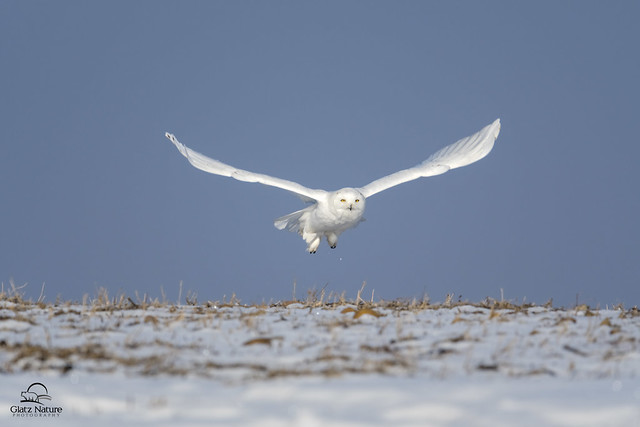 Male Snowy Owl Lifts Off