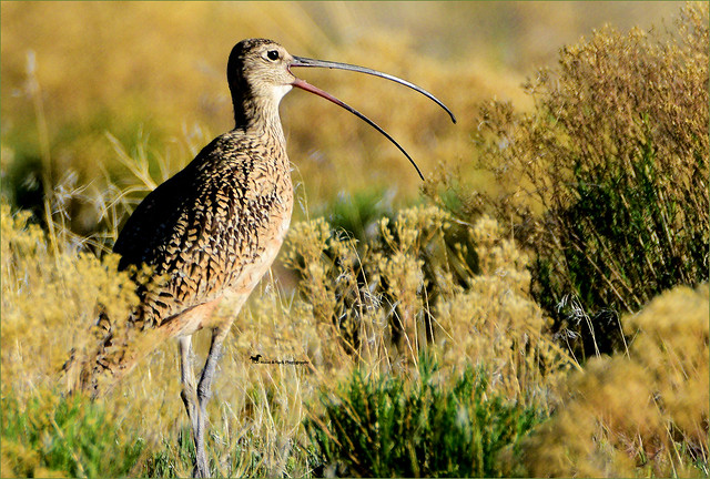 CURLEW'S CALL