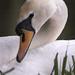 Swan - Needham Lake