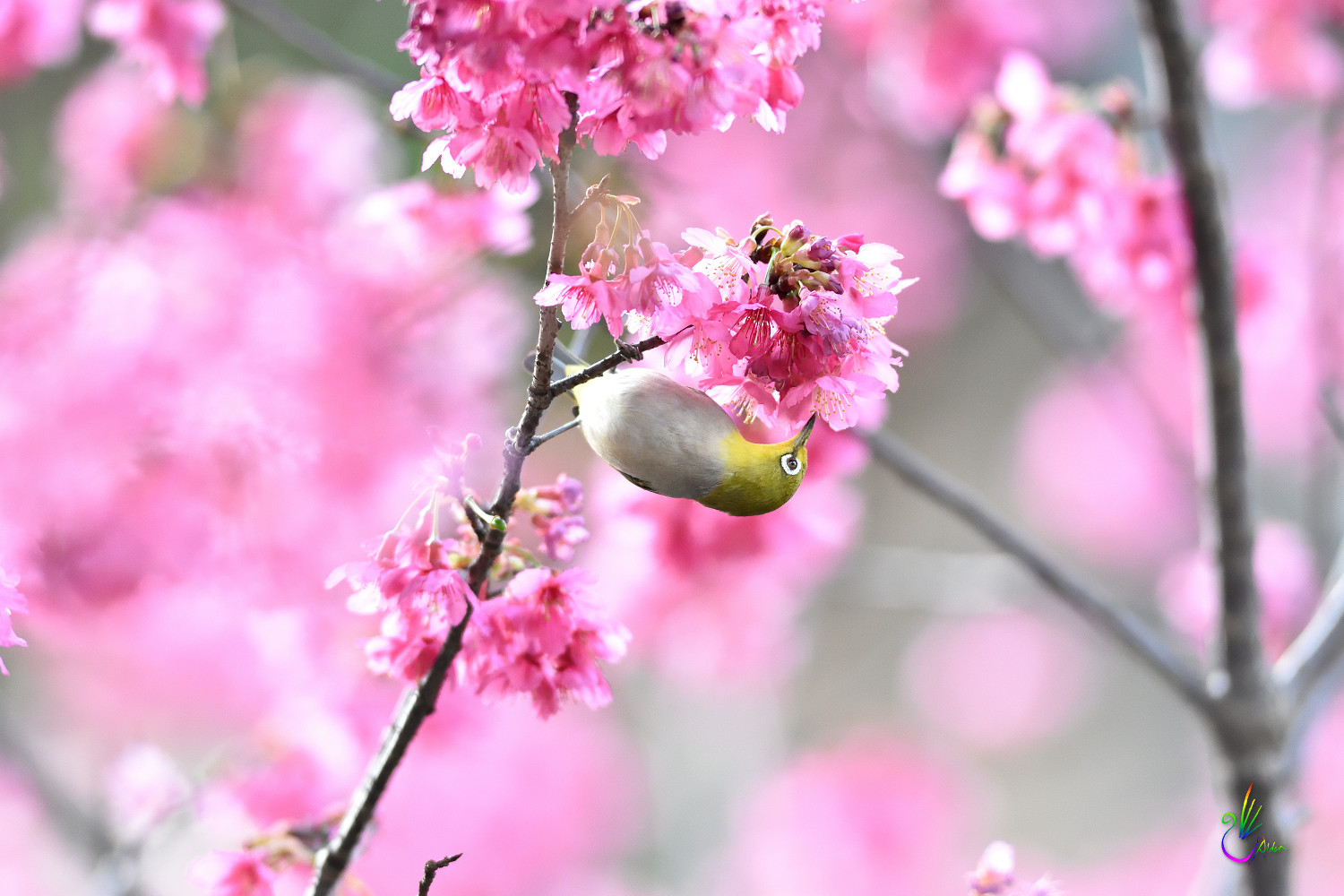 Sakura_White-eye_7758