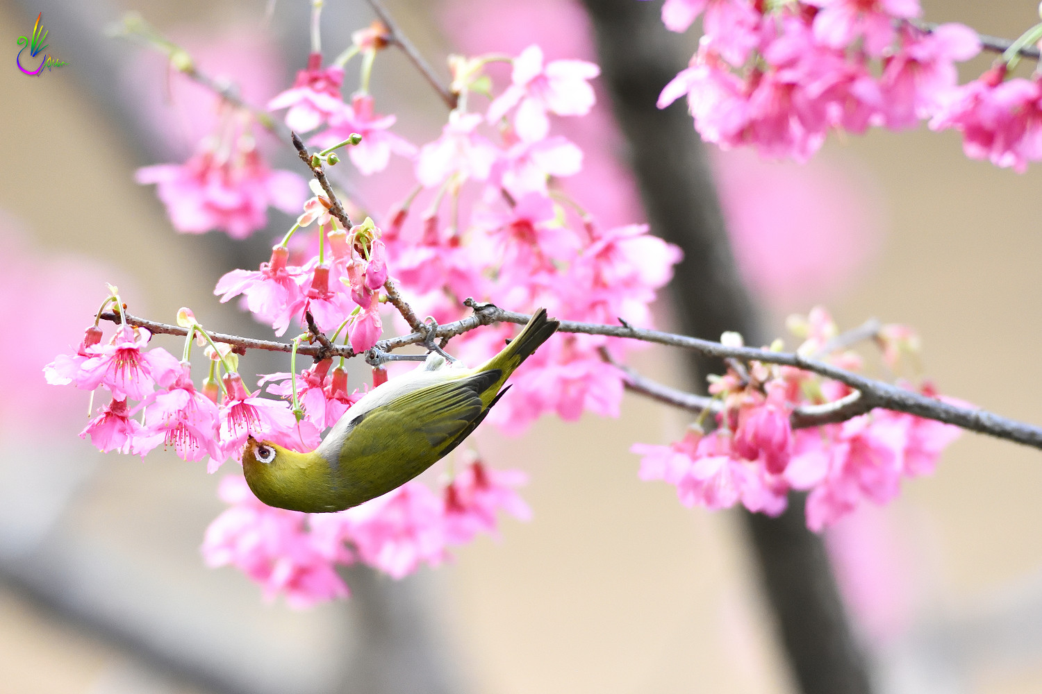 Sakura_White-eye_7719